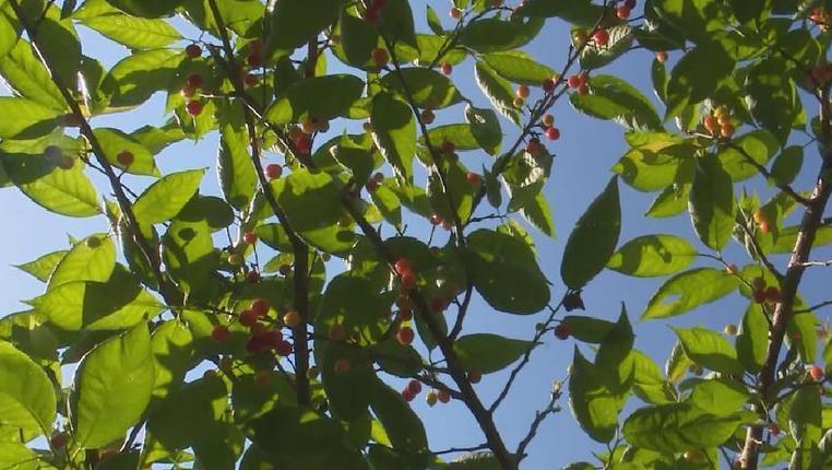 貴州紫雲:櫻桃熟了 腰包鼓了
