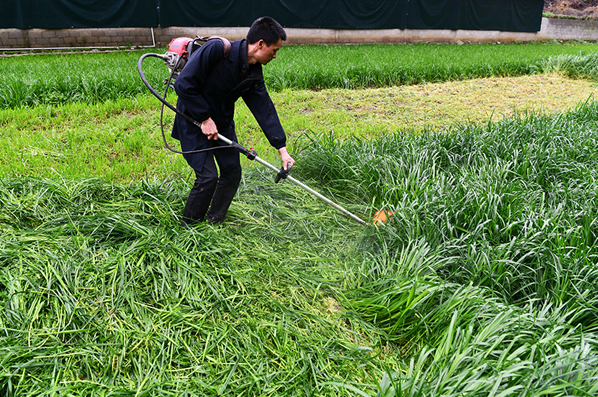 養殖戶在專業合作社收割牧草