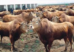 甘肅東鄉:趕著牛羊奔小康