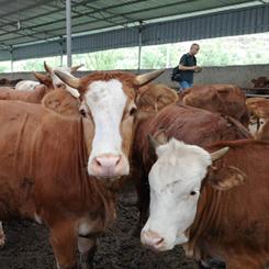 關嶺:做大牛産業 寫好牛文章