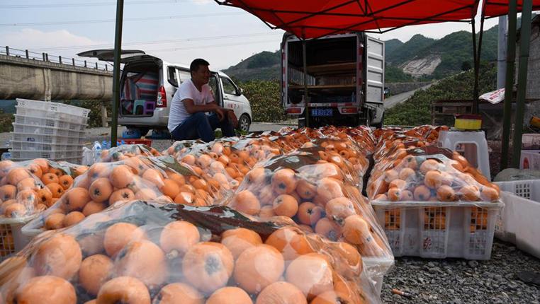 貴州關嶺:枇杷豐收助脫貧