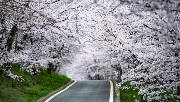 貴安新區櫻花觀光園:櫻花盛開迎春至