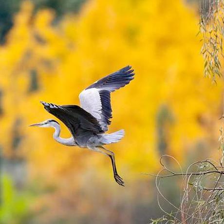 貴陽觀山湖:水鳥隨風飛翔 翩翩起舞