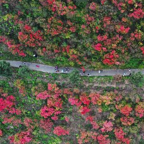 貴州丹寨:杜鵑花開漫山紅