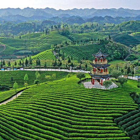 貴州省鳳岡縣:春日茶山綠似毯