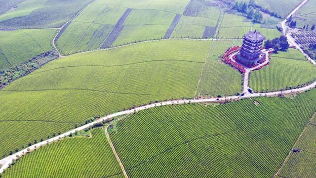 貴州湄潭:萬畝茶海