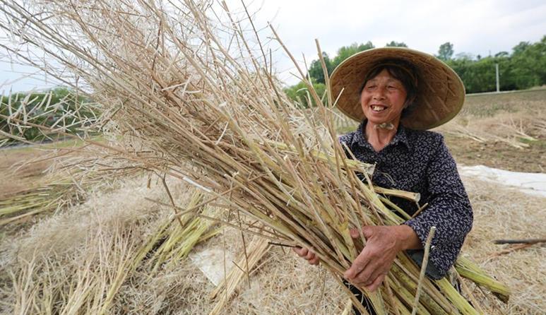 貴州黔西:油菜籽進入豐收季