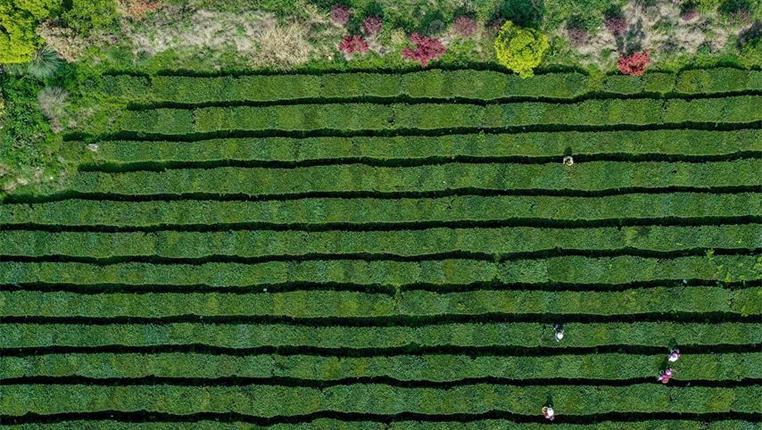 茶産業成為貴州脫貧攻堅有力抓手