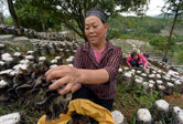 貴州劍河:發展高效山地農業助農增收