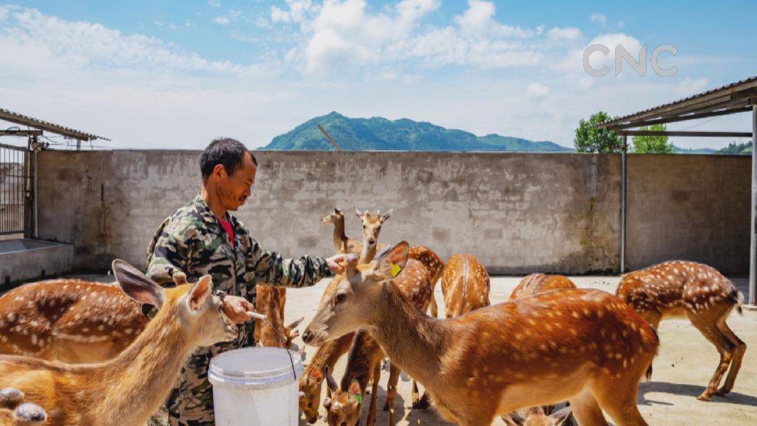 貴州江口:梅花鹿養殖助農增收