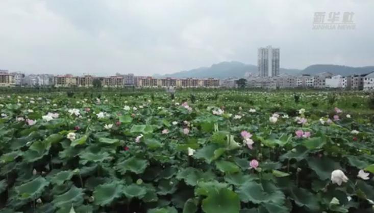 新華微視∣貴州余慶:荷花盛開扮靚鄉村振興路