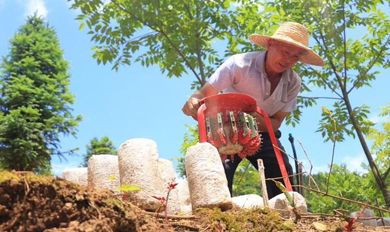 貴州黔西南:林下菌藥種植忙