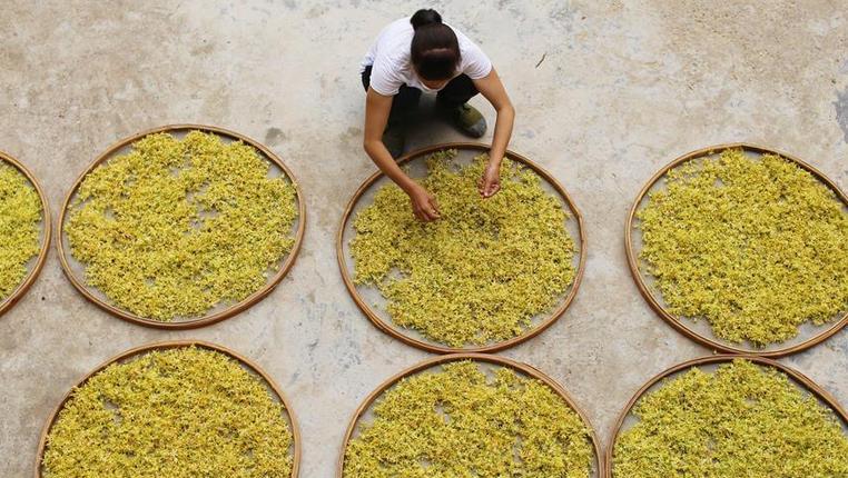 貴州錦屏:鐵皮石斛助農增收