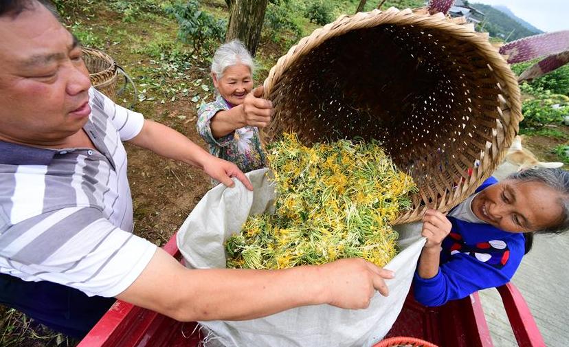 貴州綏陽:做大做強金銀花産業助農增收