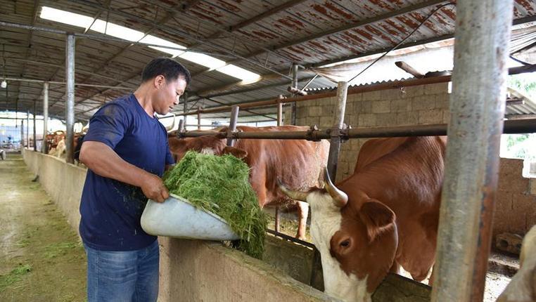 貴州關嶺:種草養牛助脫貧