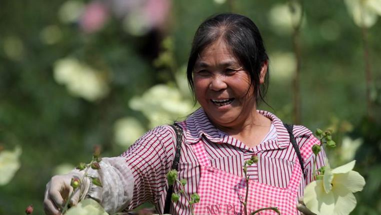 貴州黔西:黃蜀葵花開出美麗經濟
