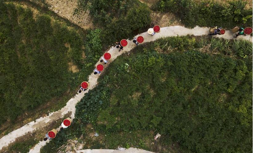 貴州遵義:辣椒豐收助農增收
