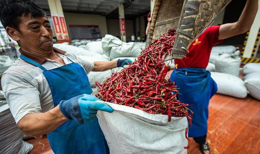 貴州遵義:辣椒豐收 紅火致富
