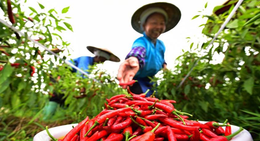 貴州龍裏:辣椒採收加工忙