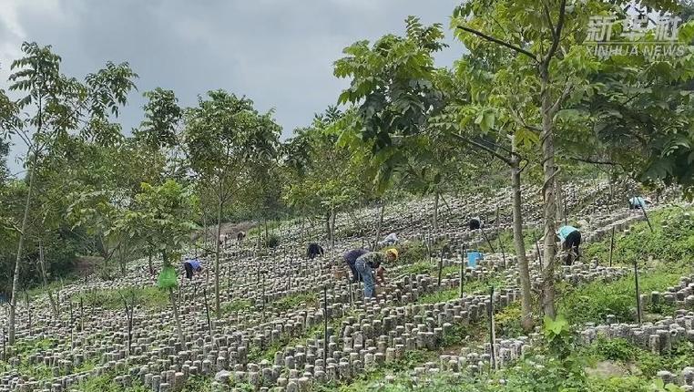 貴州興義:林下菌菇藥材種植鋪就脫貧致富路