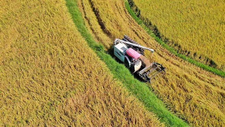 貴州余慶水稻陸續開鐮