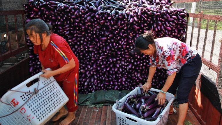 茄子豐收富農家