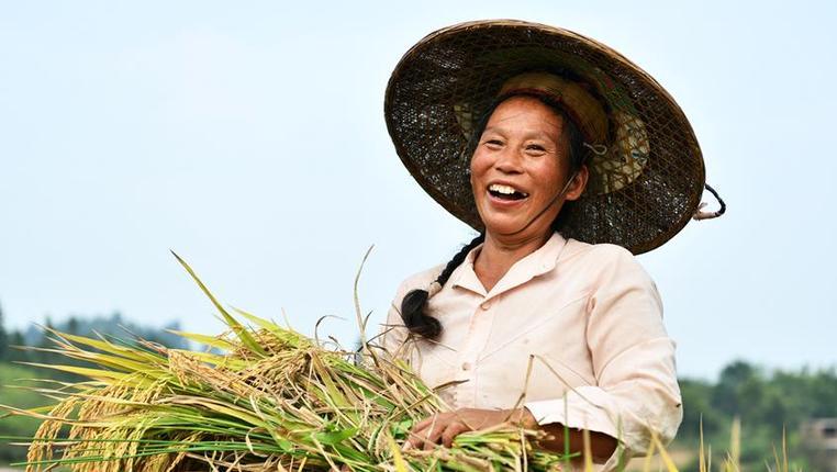 貴州天柱:大壩水稻迎豐收