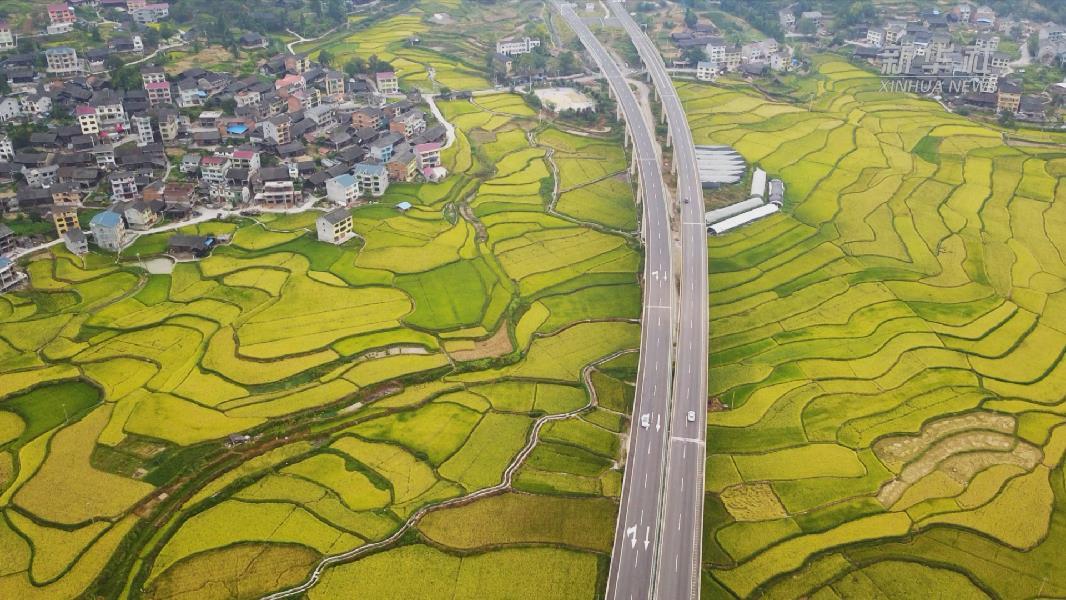 貴州天柱:搶收水稻保豐收