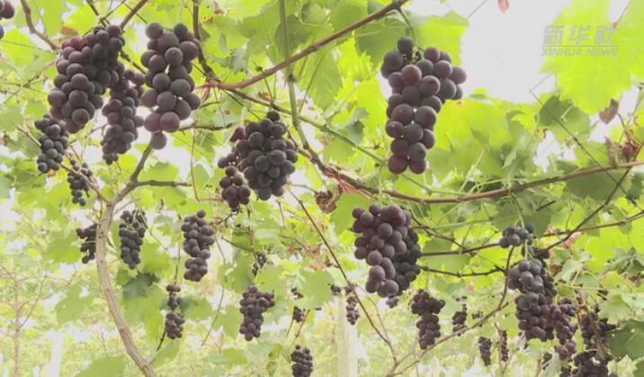 貴州余慶:葡萄飄香採摘忙