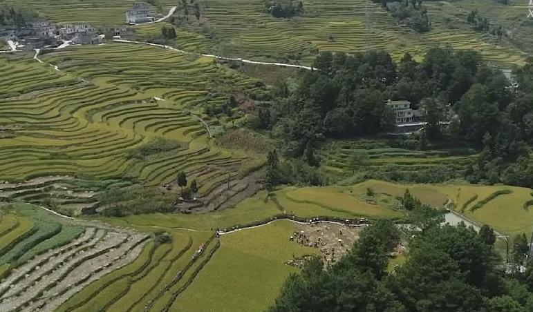 貴州桐梓:稻谷飄香慶豐收 一派繁忙迎小康
