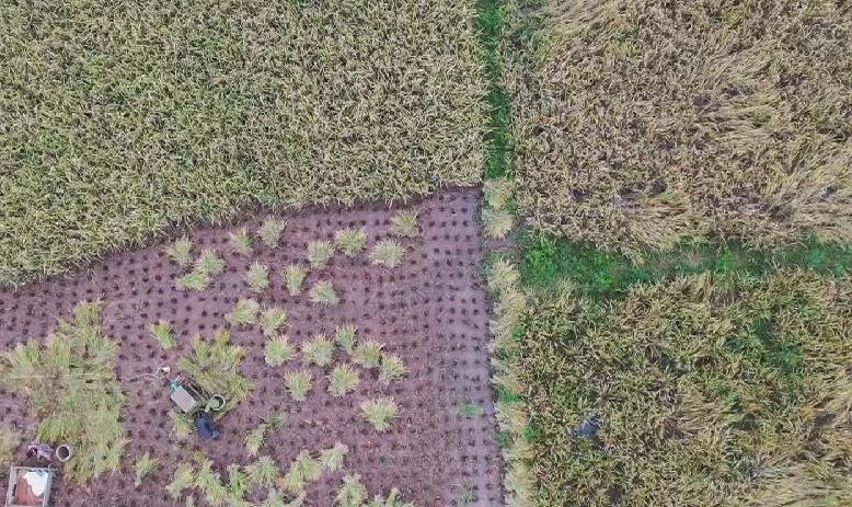 貴州玉屏:搶收稻谷,顆粒歸倉