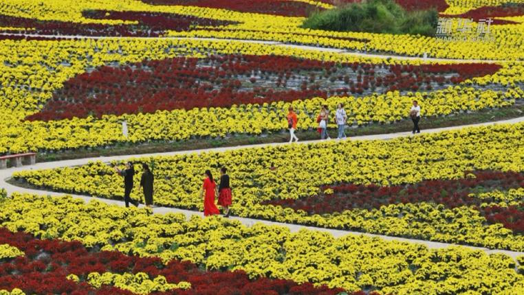 貴州龍裏:菊花盛放引遊人