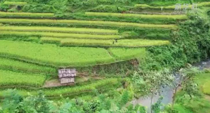 大美中國|苗家稻田搶秋收