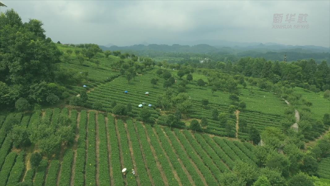 貴州湄潭:深化農村産業革命 推動鄉村振興