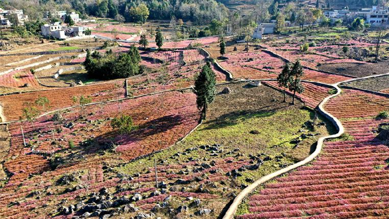 貴州黔西:水土流失治理見成效 石山盛開致富花