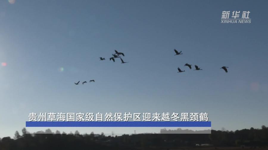 貴州草海國家級自然保護區迎來越冬黑頸鶴
