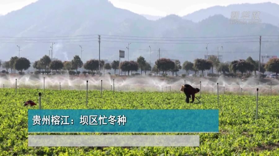 貴州榕江:壩區忙冬種