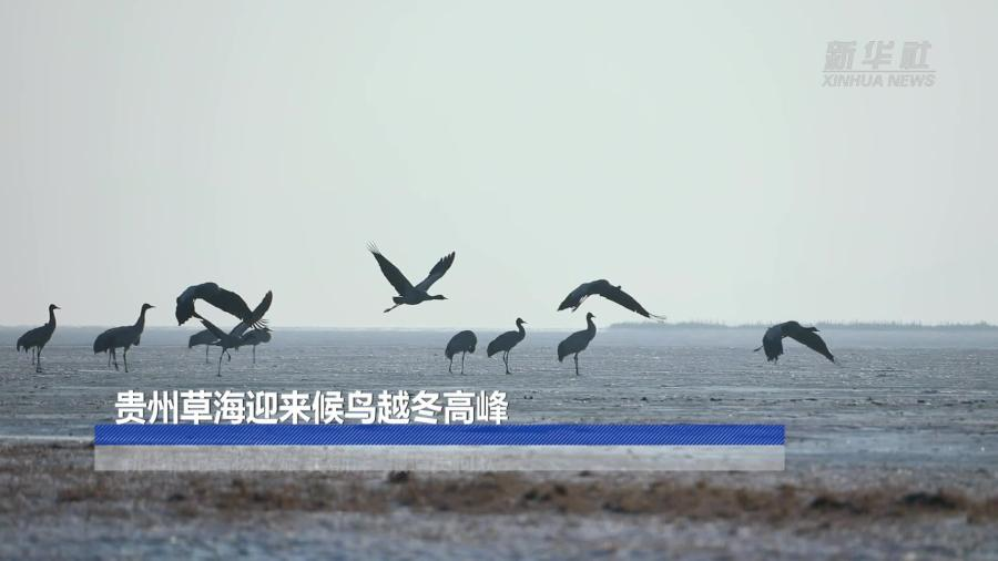貴州草海迎來候鳥越冬高峰