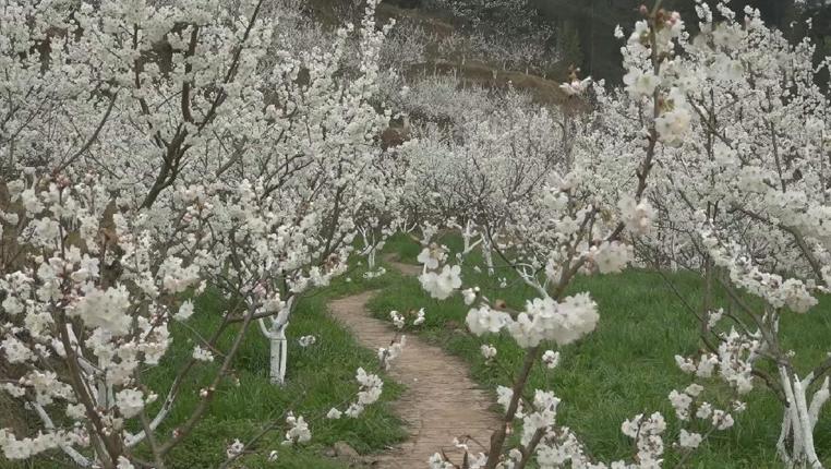 貴州桐梓:櫻桃花開春滿園