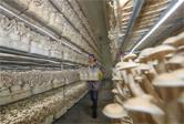 貴州玉屏:食用菌採收忙