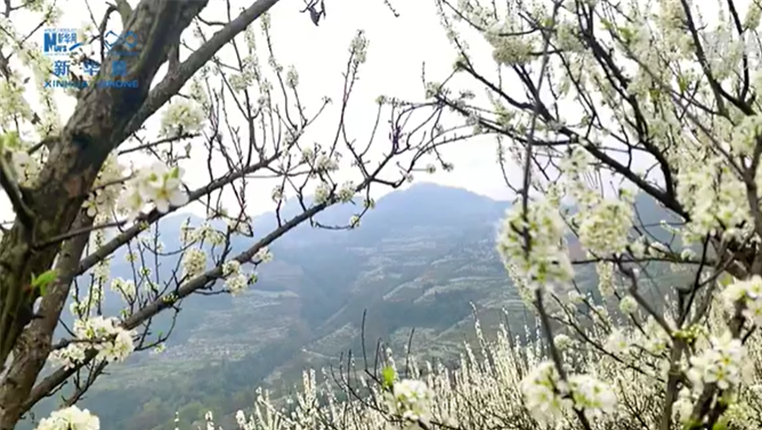 """貴州貞豐:千樹萬樹""""李花""""開"""
