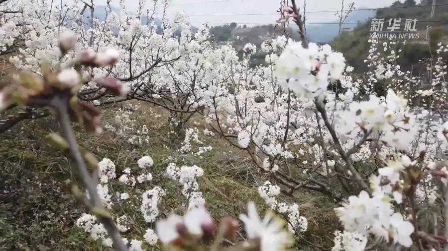 貴州貴陽:櫻桃花綻放引客來