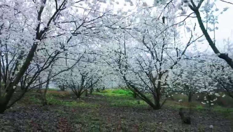 貴州大方:萬畝櫻桃花迎風綻放