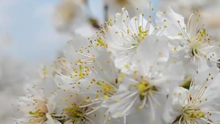 貴州烏當:櫻桃花開 春色醉人