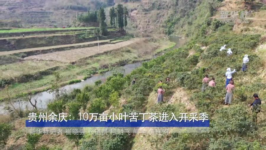 貴州余慶:10萬畝小葉苦丁茶進入開採季