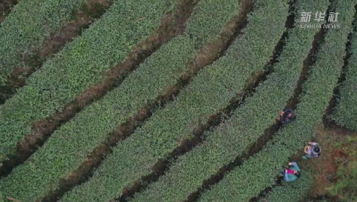 貴州丹寨:早春採茶制茶正當時