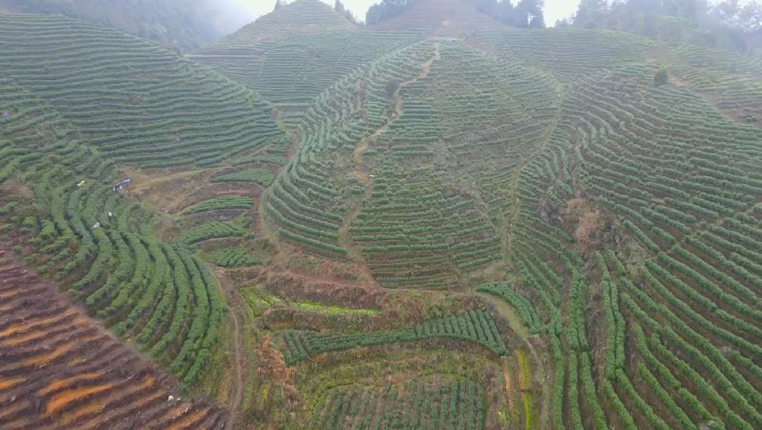 春來茶吐綠 貴州700萬畝茶園陸續進入採摘期