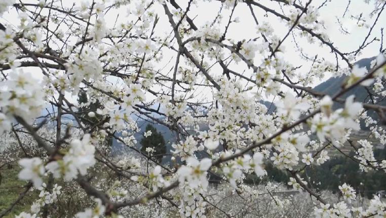 花如雪 貴州遵義萬畝李花迎春綻放