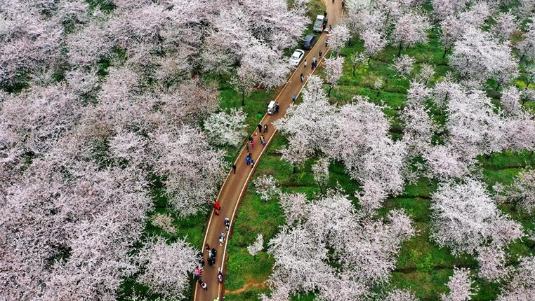 貴安萬畝櫻花園花開正盛