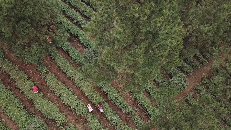 貴州:春茶上市採制忙